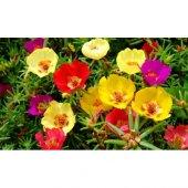 Ipek Çiçeği (Takribi 50 Tohum)