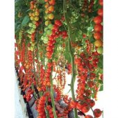 Sırık Cherry Domates* 25 Tohum