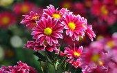 Krizantem Çiçeği Tohumu