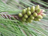 Kızılçam Tohumu 160 Gr (2.500 Adet) Pinus Brutia T...