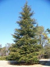 Toros Sediri Tohumu 75 Gr (1.000 Adet) Sedir Ağacı...