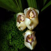 5 Adet Rainbow Gül Tohumu HEDİYE - Bin Bir Çeşit PHALAENOPSİS Orkide Tohumu ( 15 Adet Tohum)-3