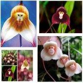 5 Adet Rainbow Gül Tohumu HEDİYE - Bin Bir Çeşit PHALAENOPSİS Orkide Tohumu ( 15 Adet Tohum)-9