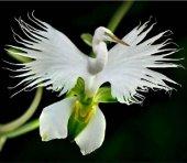 5 Adet Rainbow Gül Tohumu HEDİYE - Bin Bir Çeşit PHALAENOPSİS Orkide Tohumu ( 15 Adet Tohum)-10