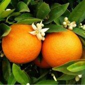 Portakal Fidanı (Aşılı 2 Yaş) Tüp