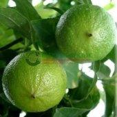 Bergamot Fidanı (80 Cm Ve Üzeri) 2 Yaş