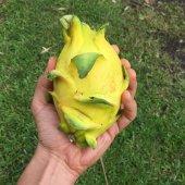 Sarı Pitaya Ejder Meyvesi Fidanı (Sadece Bizde)