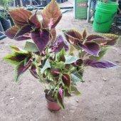 Yaprak Güzeli Çiçeği (Kolyoz)