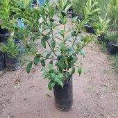 Kamkat Kumquat 50 70 Cm Aşılı 3 Yaş (Bol Meyveli)