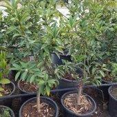 Meyveli Kamkat (Saksılı) 60 85 Cm Aşılı 3.5 4 Yaş