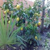 Limon Fidanı Yediveren