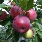Jersey Mac Yaz Elması (2.5 Yaş Torbalı 40 Cm Üzeri)