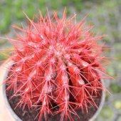 Altın Varil Kaktüs, Echinocactus Grusonii Intermedius (15 Lik Sak