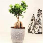 Ginseng Ficus Bonsai