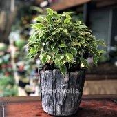Bonsai Alacalı Ficus