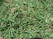 Bermuda Cim Tohumu 1 Kg Köpek Dişi Ayrığı Uganda Ç...