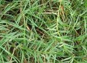 Bermuda Cim Tohumu 500 Gr Bermuda Grass Çim Tohumu...