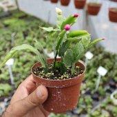 (Kaçırma!!! stok sadece 40) PASKALYA KAKTÜSÜ Harika Bir Kış Çiçeğ-3