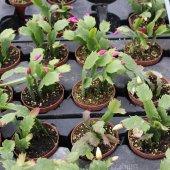 (Kaçırma!!! stok sadece 40) PASKALYA KAKTÜSÜ Harika Bir Kış Çiçeğ-4
