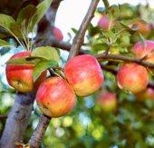 Amasya Elması (2.5 Yaş Torbalı 40 Cm Üzeri)
