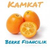 Kamkat (Kumquat 2 Yaş Tam Bodur) Fidanı (Meyve Döneminde Çiçekli)