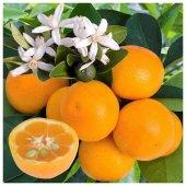 Citrus Calamondın Fidanı (2.5 Yaş Çicekli Ve Meyveli)