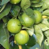 Tahiti Lime (Çekirdeksiz Limon) 3 Yaş