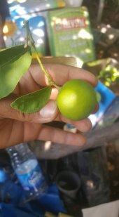 Dikensiz Meksican Lime Saksılık Tam Bodur