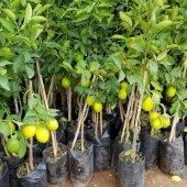 Mayer Limon (Torbalı Aşılı 80 Cm Üzeri)