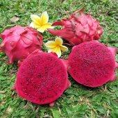 Pitahaya Ejder Meyvesi (İçi Kırmızı 2.5 Yaş Köklü) Fidesi