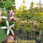 8 Yaş Yediveren Limon Ağacı Saksılı (130 Cm Üzeri)