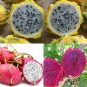 Pitaya Dragon Fruit Fidanı Seti 3 Adet (Beyaz Kırmızı Sarı)