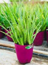 Aloe Vera Bitkisi,10 Köklü Saksı Dolusu,30 40 Cm Tıbbi Aloe Vera(Fotograftaki Bitki)