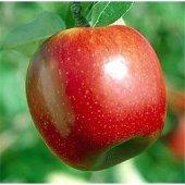 Summer Red Elma (2.5 Yaş Torbalı 40 Cm Üzeri)