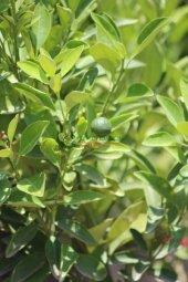Calamondin Fidanı (60 90 Cm Torbalı) Bol Meyveli