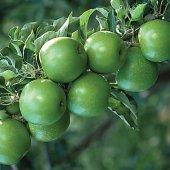 Granny Smıth Elma (2.5 Yaş Torbalı 40 Cm Üzeri)