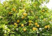 Aşılı Limon Fidanı Küçük Boy Saksıda