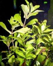 Trichocoronis rivularis 1 Kök CANLI BTKSİ