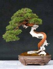 Taxus Baccata Ağacı Ender Tür Bonsai Yapılabilir Ağaç Set' İ
