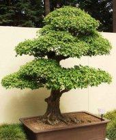 Trident Maple Akçaağaç Bonsai Yapılabilir Ağaç Set' İ