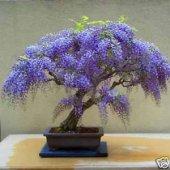 Afrika Mavi Salkım Bonsai Yapılabilir Ağaç Set' İ