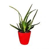 Aloevera Bitkisi 25-30 Cm Anaç ve 4-5 yavrulu Doğal Krem Şifalı Bitki Sarısabır-2