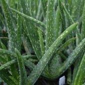 Aloevera Bitkisi 25-30 Cm Anaç ve 4-5 yavrulu Doğal Krem Şifalı Bitki Sarısabır-3