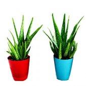 Aloevera Bitkisi 25-30 Cm Anaç ve 4-5 yavrulu Doğal Krem Şifalı Bitki Sarısabır-4