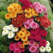 Karışık Renkli Kasımpatı Çiçeği Tohumu + Çimlendirme Torfu