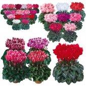Karışık Renkli Sıklamen Çiçeği Tohumu + Çimlendirme Torfu