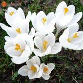 Hollanda' Dan İthal Çiğdem (Crocus) Çiçeği Toh...