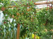 Italyan Domates Ağacı Tohumu (10 Tohum)