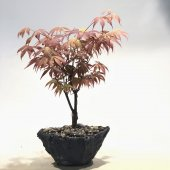 Acer Palmatum Bonzai