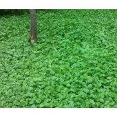 Fare Kulağı Tohumu 100 Gr Dichondra Repens Tohumu Fare Kulağı Çim